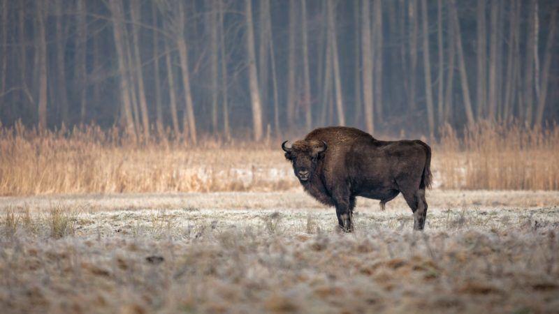 Bialowieza-bison-800x450